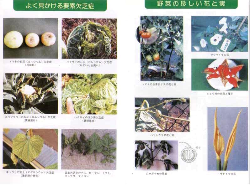よく見かける要素欠乏症&野菜の珍しい花と実