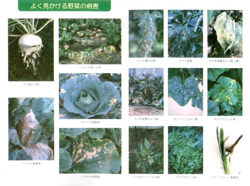 よく見かける野菜の病害