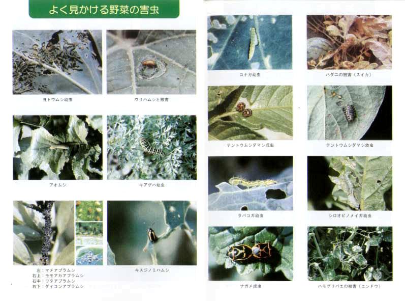 よく見かける野菜の害虫